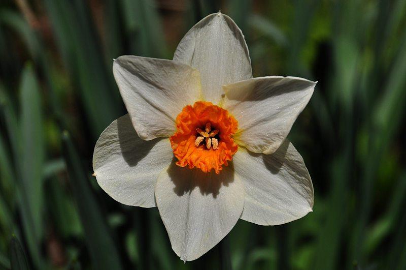 apr 25 2535 daffodil