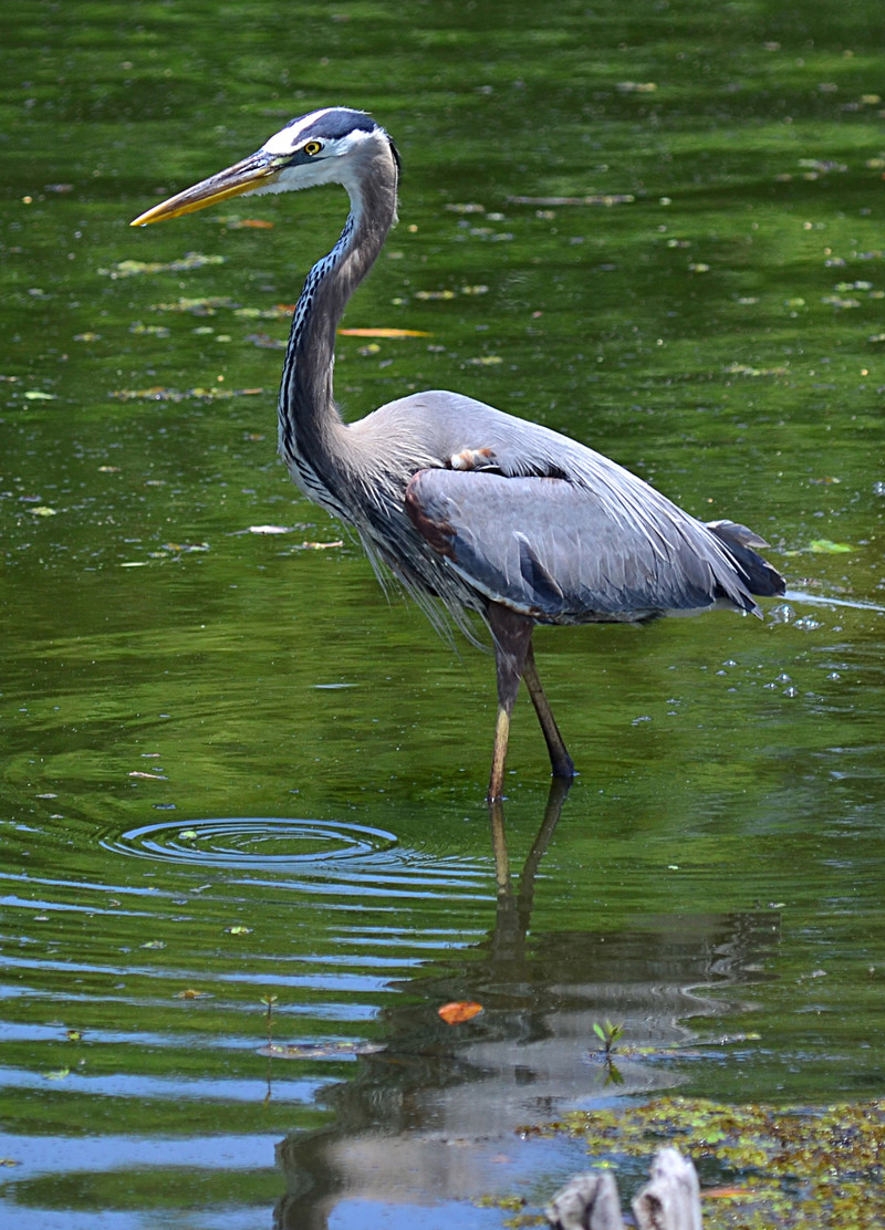 Photo essays for Blue heron fishing