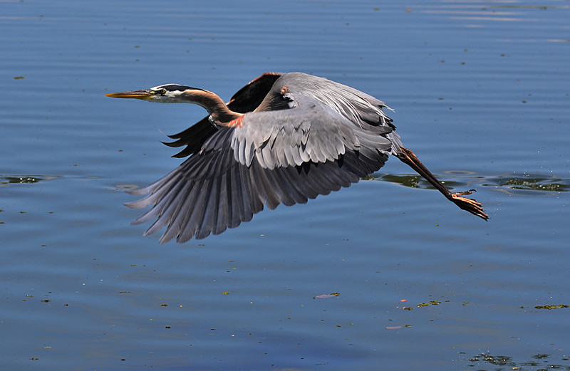apr 25 4479 blue heron flying