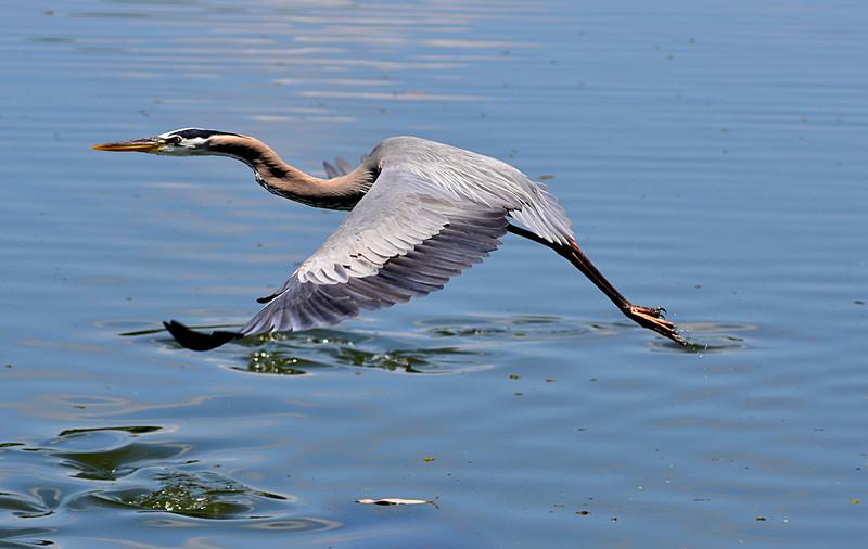 apr 25 4480 blue heron flying