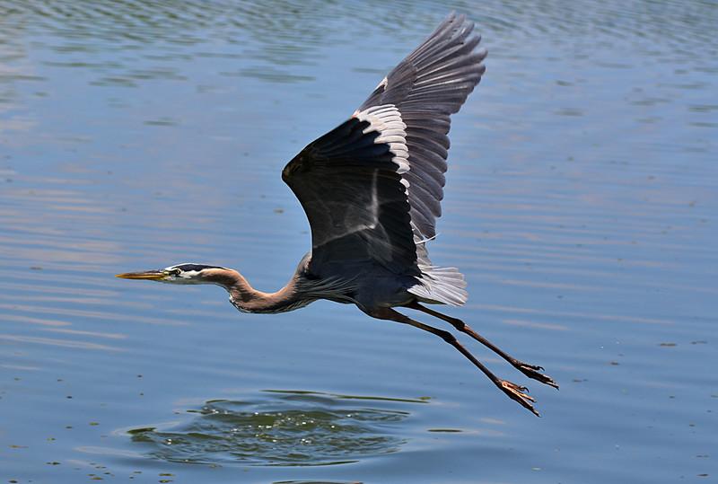 apr 25 4482 blue heron flying