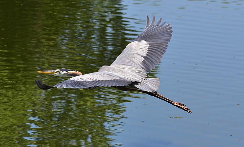 apr 25 4483 blue heron flying
