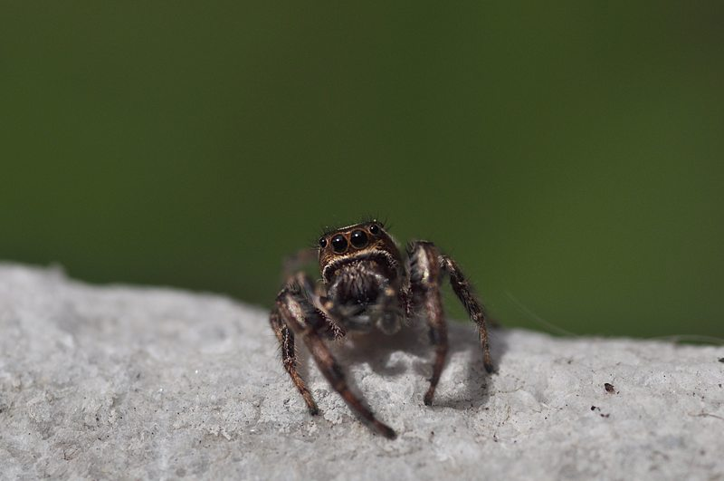 apr 26 2872 jumping spider ledge