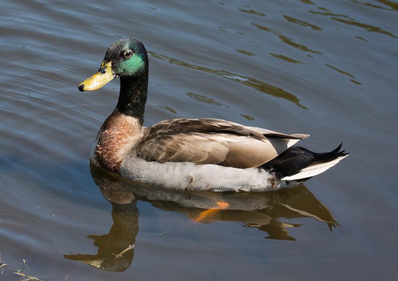 apr 27 7853 papa duck