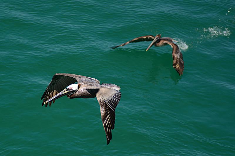 apr 28 0990 pelican flying