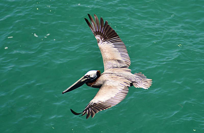 apr 28 1115 pelican flying