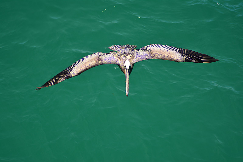apr 28 1571 pelican top