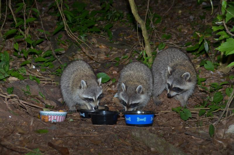 apr 29 1172 three hungry raccoons