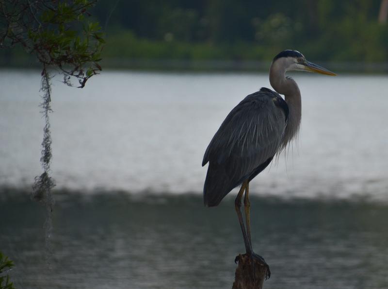 apr 29 1271 great blue heron