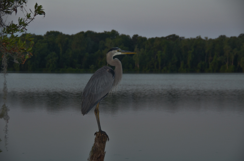 apr 29 1282 great blue heron