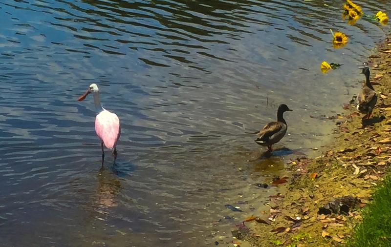 apr 29 8806 two ducks roseate spoonbill