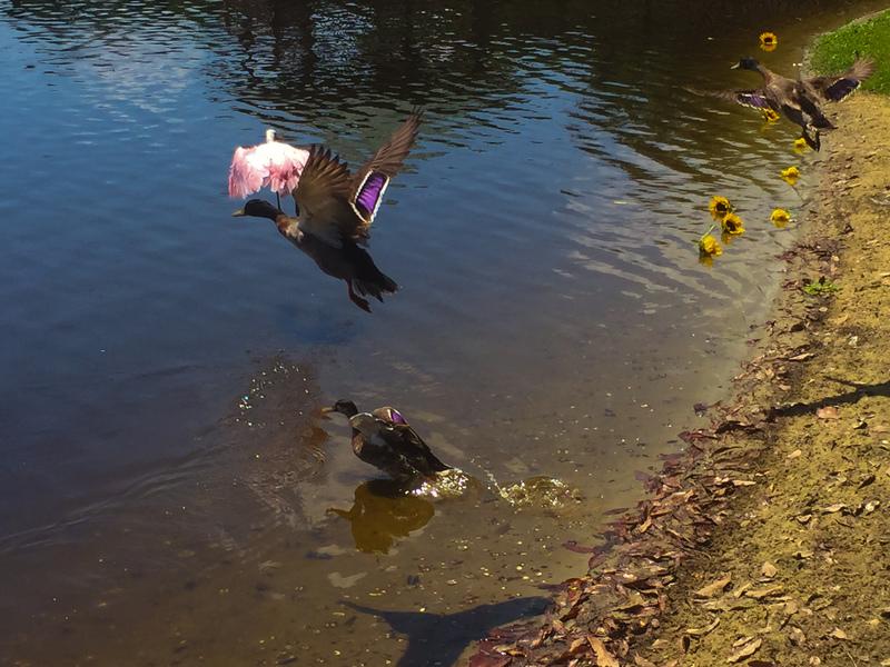 apr 29 8838 two ducks roseate spoonbill