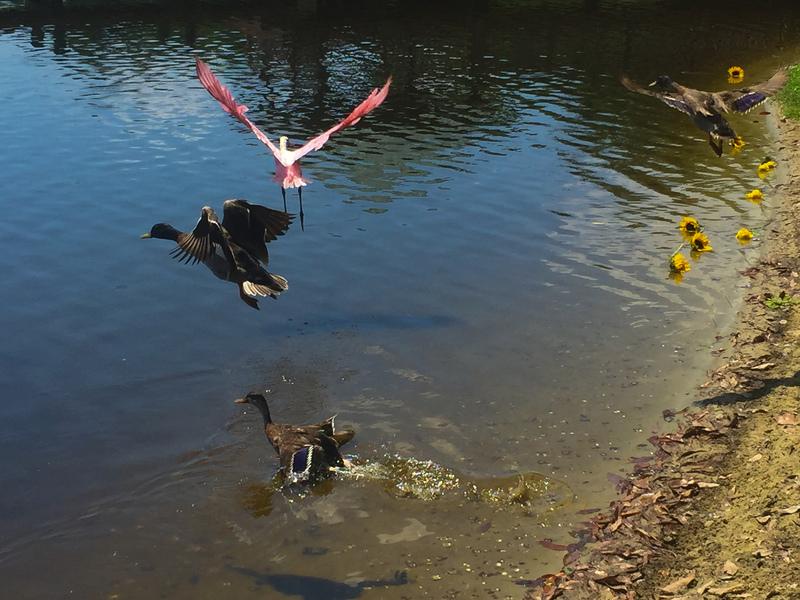 apr 29 8839 three ducks roseate spoonbill takeoff
