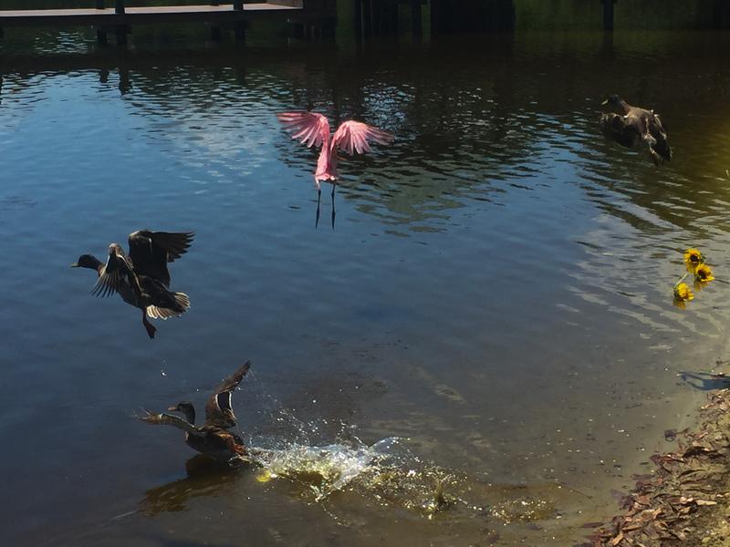 apr 29 8840 three ducks roseate spoonbill flying