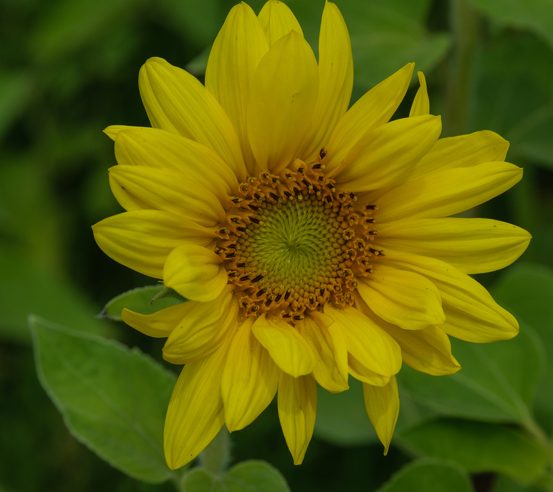 apr 30 6686 sun flower