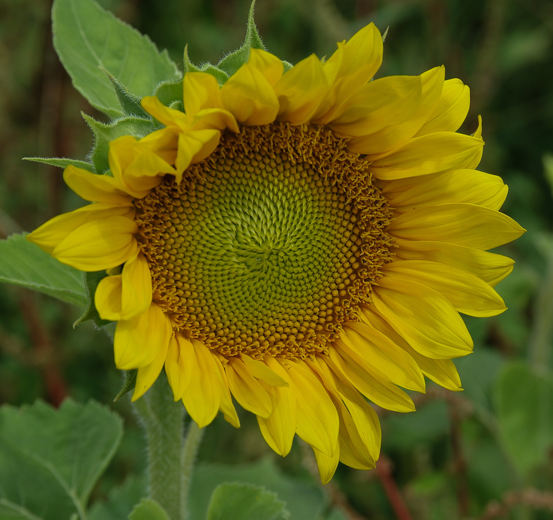 apr 30 6727 spiral sun flower