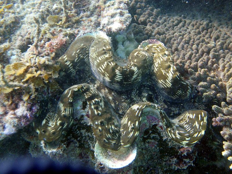 aug 01 1393 giant clam