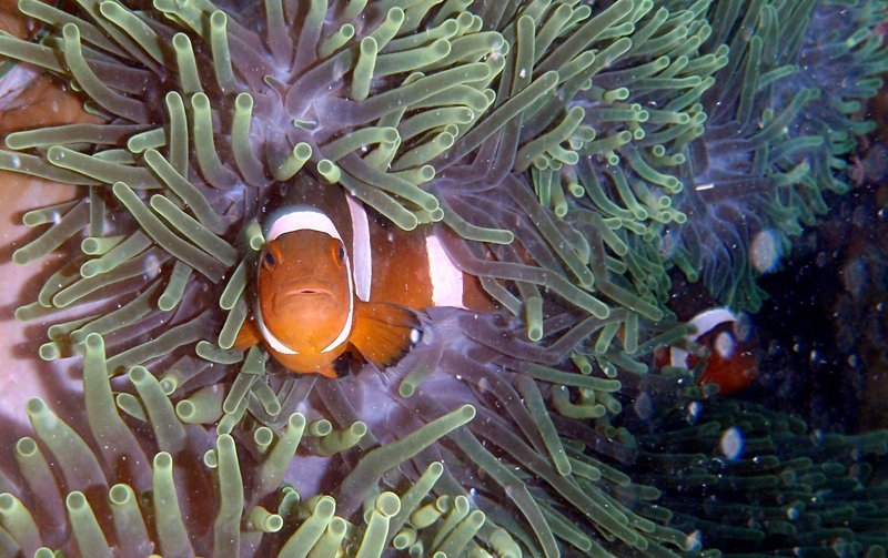 aug 01 1456 clown fish close
