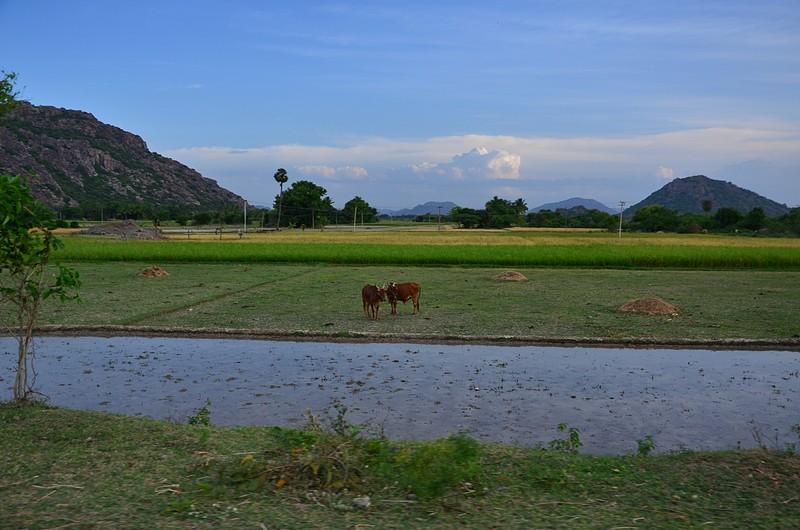 aug 05 5198 paddy planting