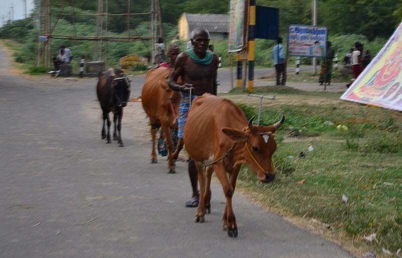 aug 05 5211 walking cows