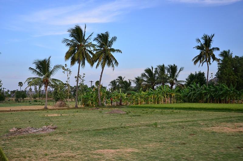 aug 05 5231 rice palms