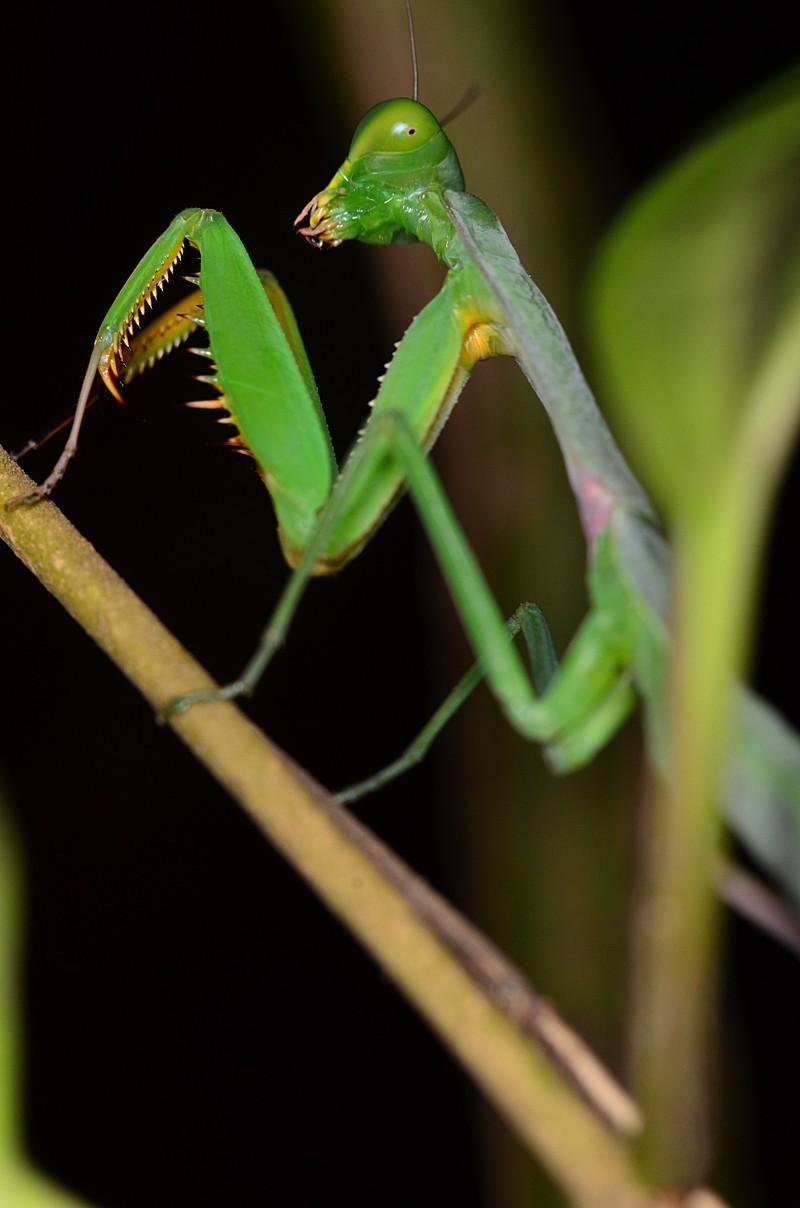 aug 11 8916 praying mantis