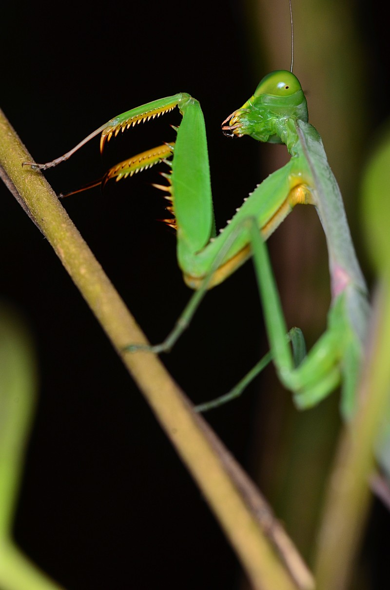 aug 11 8918 praying mantis