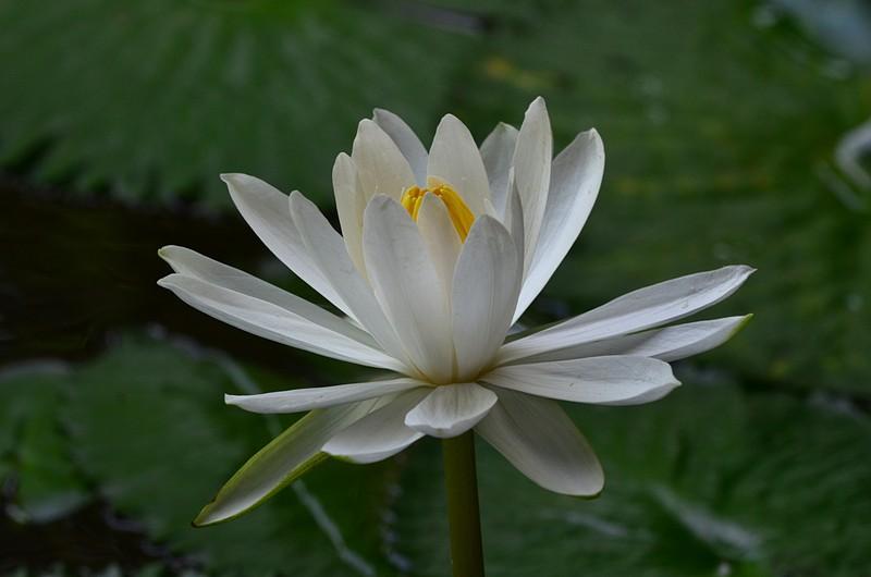 aug 21 6533 white lotus