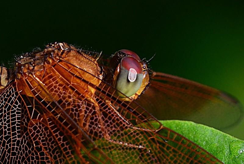 aug 21 6736 dragonfly eye
