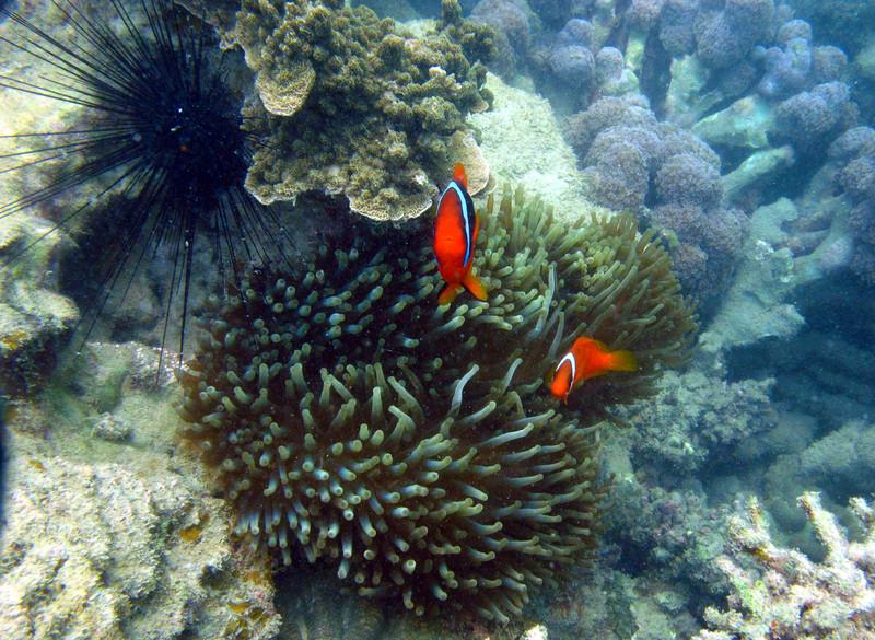 aug 24 5337 clownfish sea urchin