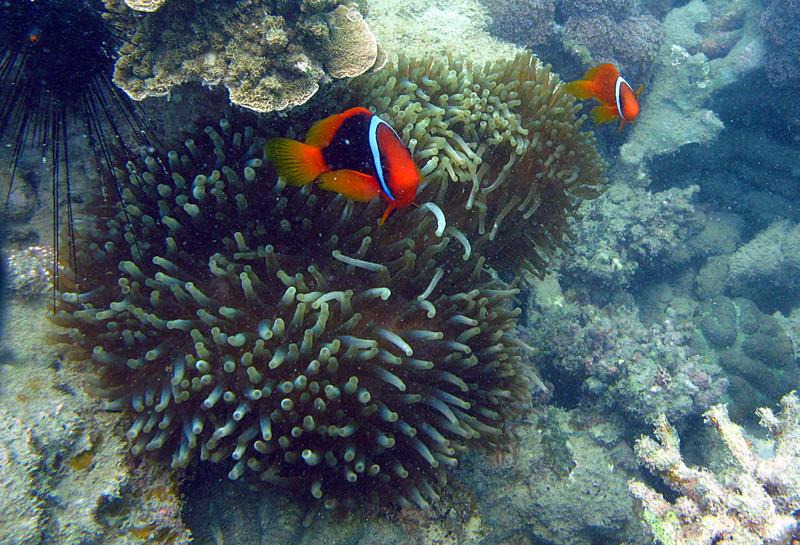 aug 24 5359 clownfish