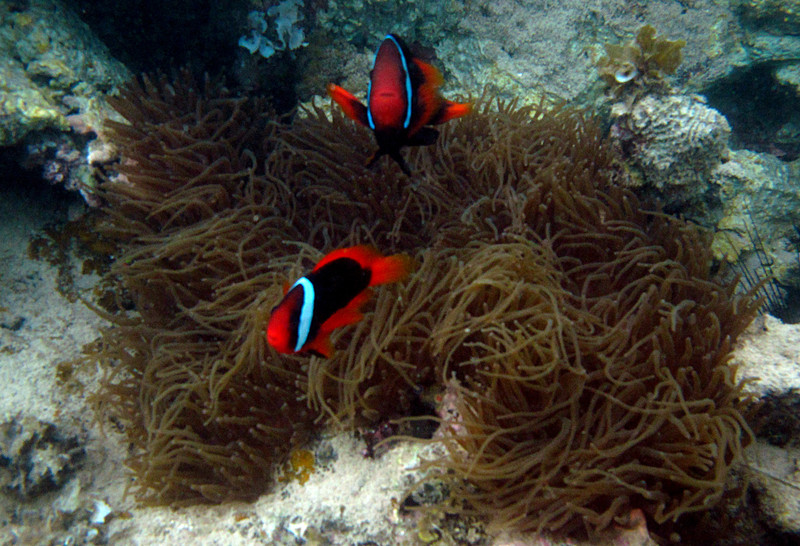 aug 24 5369 clownfish