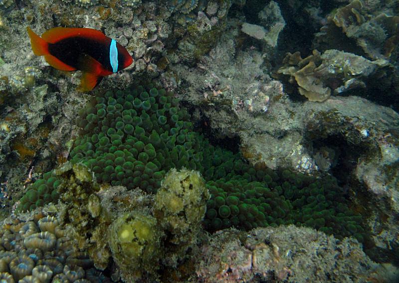 aug 24 5413 clownfish