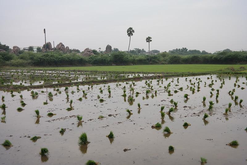 dec 01 0231 pre planting rice