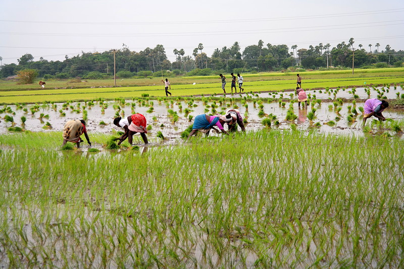 dec 01 0238 planting rice