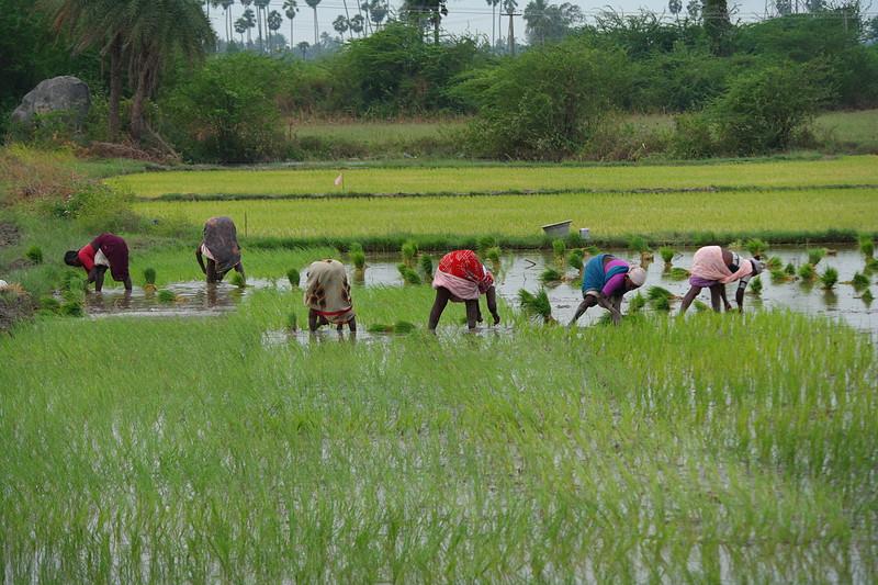 dec 01 0287 planting rice