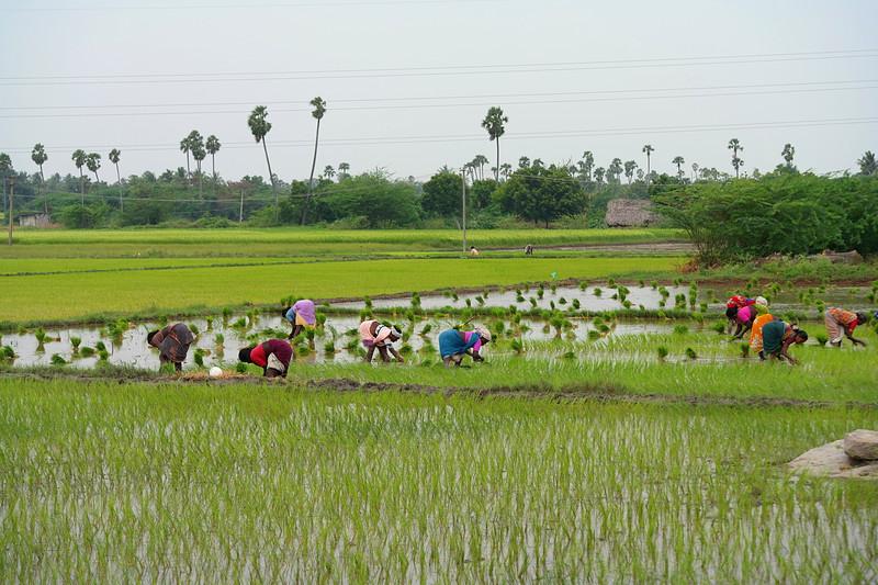 dec 01 0305 planting rice