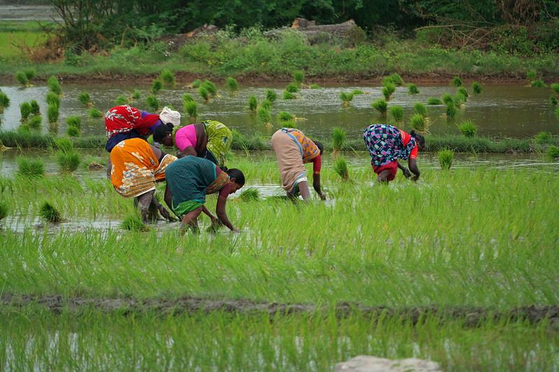 dec 01 0306 planting rice