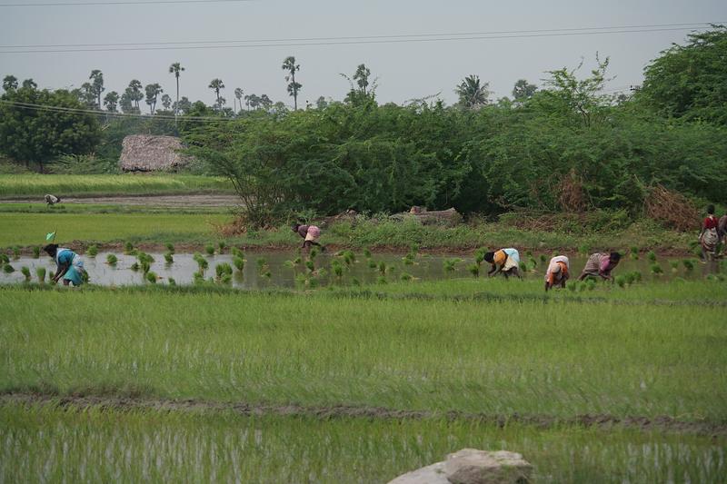 dec 01 0367 planting rice