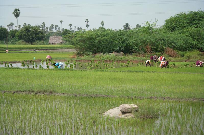 dec 01 0380 planting rice