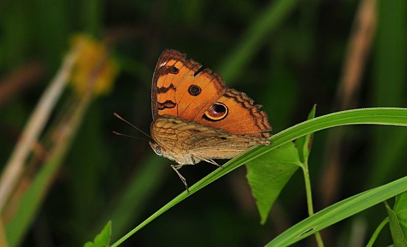 dec 05 8089 butterfly grass