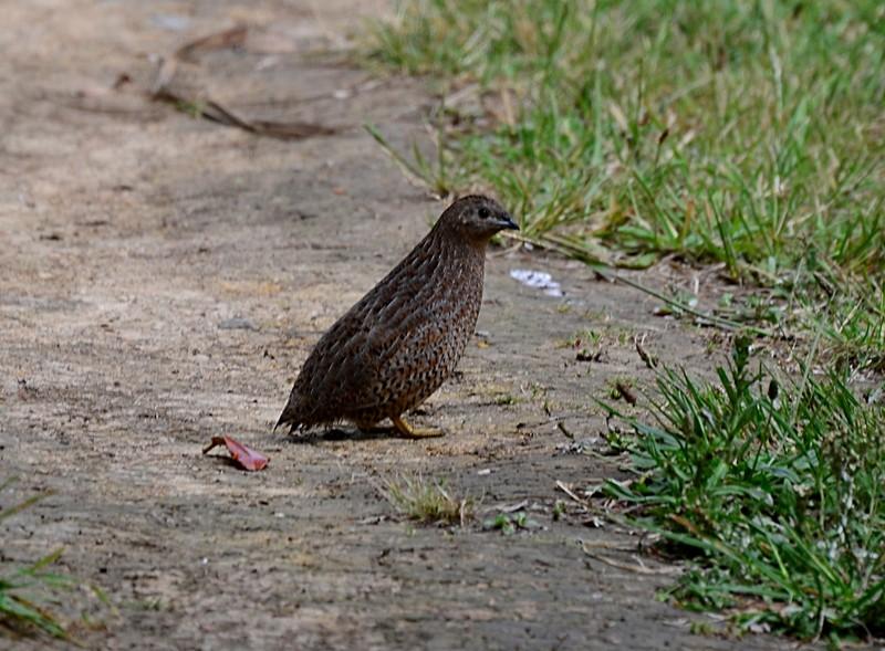 dec 06 7145 quail