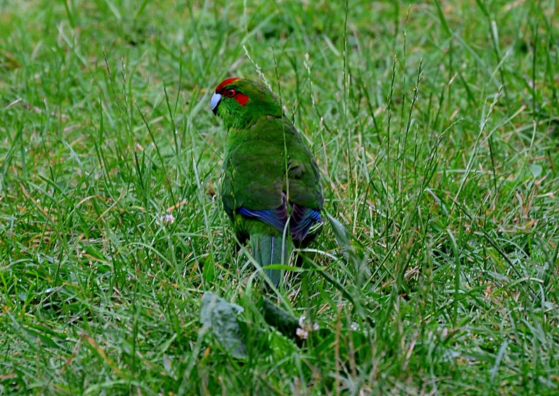 dec 06 7164 red crown parakeet