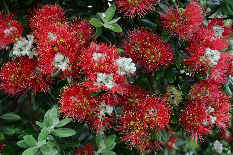 dec 06 7244 red flowers