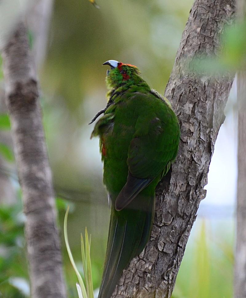 dec 06 7999 red crown parakeet