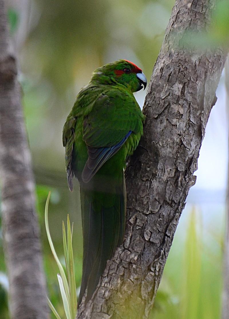 dec 06 8004 red crown parakeet