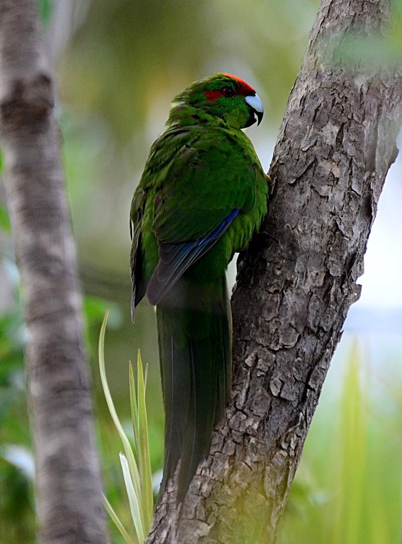 dec 06 8006 red crown parakeet