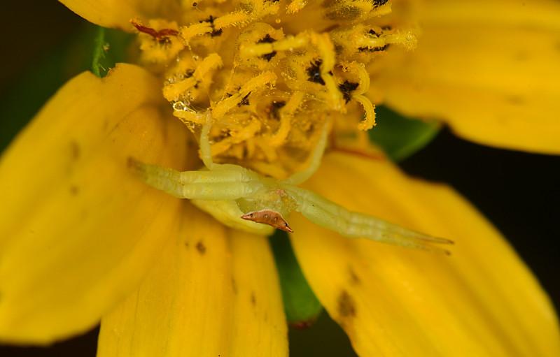 dec 08 3332 crab spider