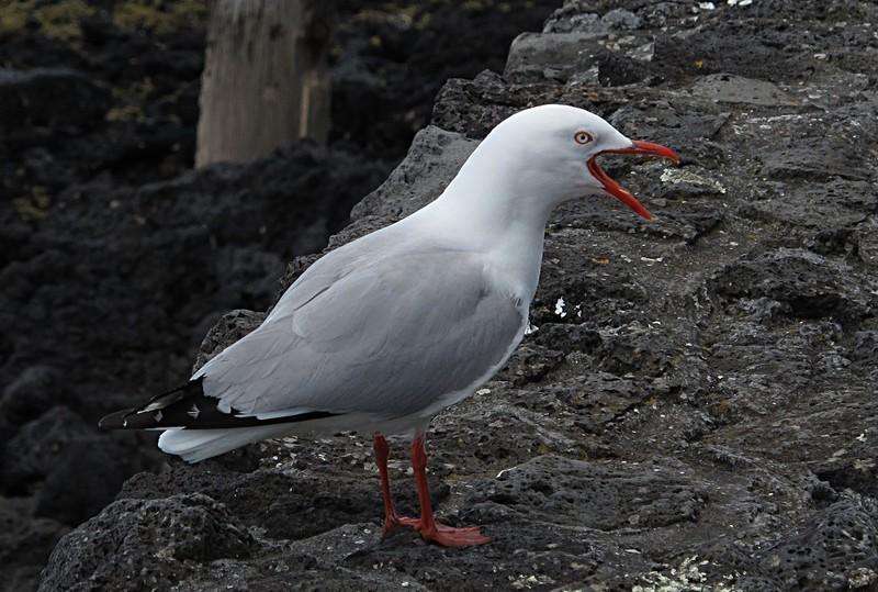 dec 09 0351 seagull yawning