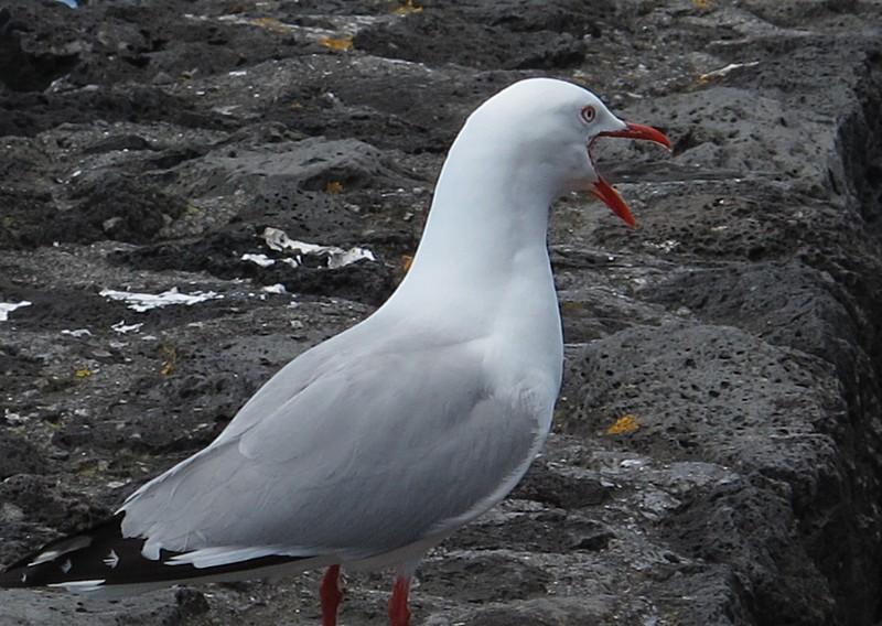 dec 09 0354 seagull yawning
